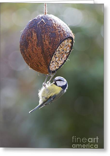 Bird Photography Greeting Cards - Blue Tit Feeding Greeting Card by Tim Gainey