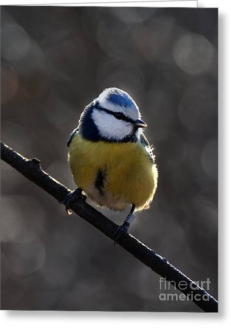 Dark Gray Blue Greeting Cards - Blue tit  Greeting Card by Jaroslaw Blaminsky