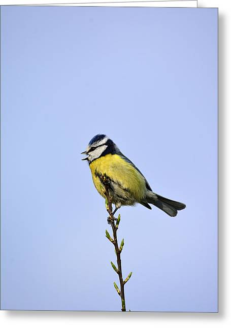 Caring Mother Mixed Media Greeting Cards - Blue Tit sitting pretty  Greeting Card by Toppart Sweden