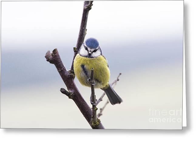 Bird Photography Greeting Cards - Blue Tit Greeting Card by Tim Gainey