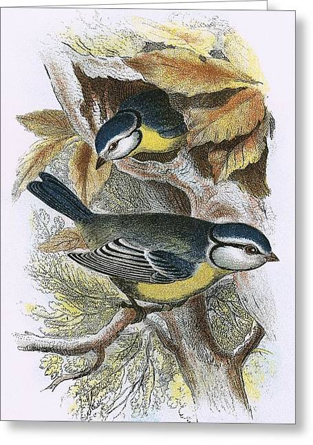 Tit Greeting Cards - Blue Titmouse Greeting Card by English School