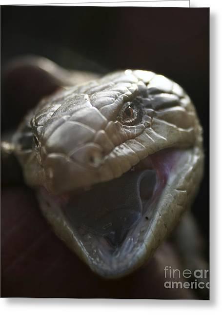 Joy Watson Greeting Cards - Blue Tongue Lizard Greeting Card by Joy Watson