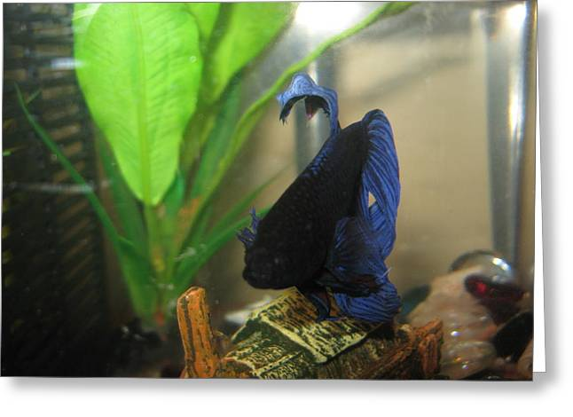 Betta Greeting Cards - Blue unique Betta Greeting Card by Abneris Verdecia