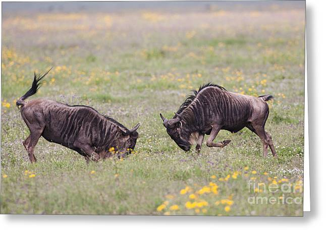 White Beard Photographs Greeting Cards - Blue Wildebeest 2 Greeting Card by Eyal Bartov
