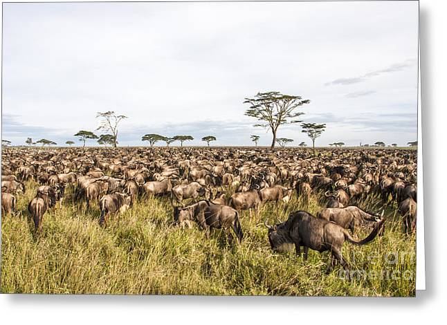 Reserve Greeting Cards - Blue Wildebeest 4 Greeting Card by Eyal Bartov