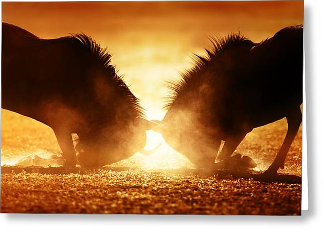 Backlit Greeting Cards - Blue wildebeest dual in dust Greeting Card by Johan Swanepoel