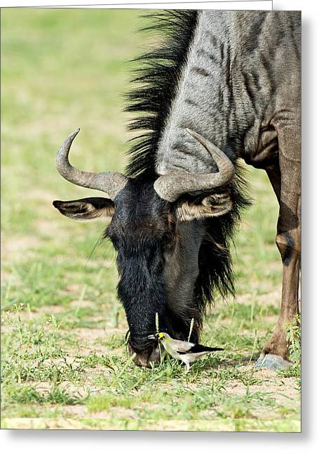 White Beard Greeting Cards - Blue wildebeest grazing Greeting Card by Science Photo Library