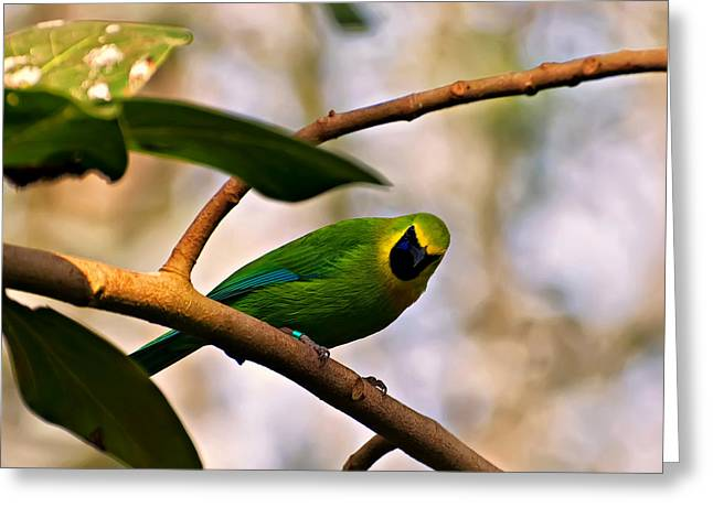 Bird Photographs Greeting Cards - Blue winged leaf bird Greeting Card by Chris Flees
