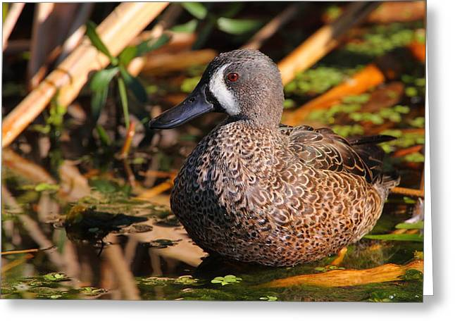 Florida Marsh Greeting Cards - Blue-winged Teal Greeting Card by Bruce J Robinson