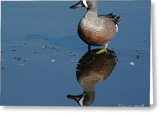 Webbed Feet Greeting Cards - Blue winged Teal Greeting Card by Cindi Ressler