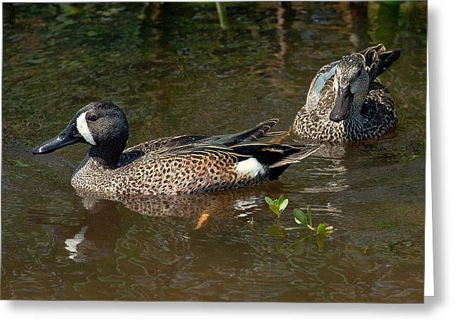 Featured Art Greeting Cards - Blue-Winged Teal Couple Greeting Card by Dawn Currie