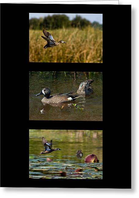 Featured Art Greeting Cards - Blue Winged Teal Triptyck Greeting Card by Dawn Currie