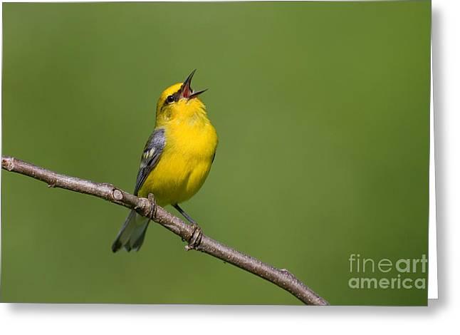 Wood Warbler Greeting Cards - Blue-winged Warbler Greeting Card by Jim Zipp
