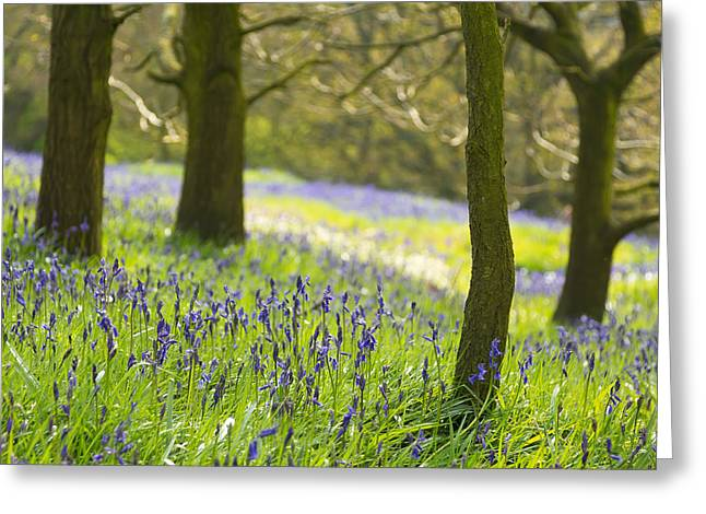 The North Greeting Cards - Bluebell Glade at Roseberry Topping Greeting Card by John Potter