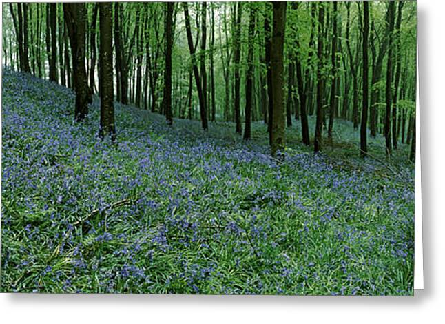 Non Urban Scene Greeting Cards - Bluebell Wood Near Beaminster, Dorset Greeting Card by Panoramic Images