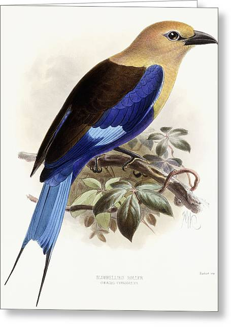 Wildlife Art Posters Greeting Cards - Bluebellied Roller Greeting Card by Johan Gerard Keulemans