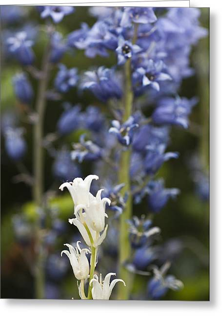 Bluebells 1 Greeting Card by Steve Purnell