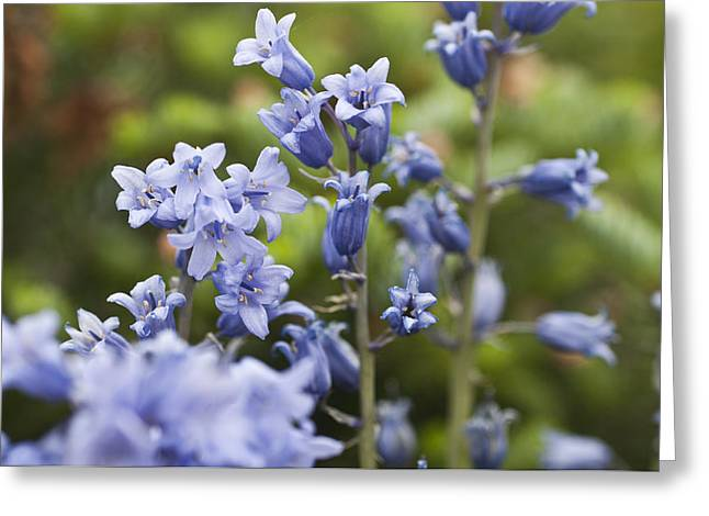 Bluebells 2 Greeting Card by Steve Purnell