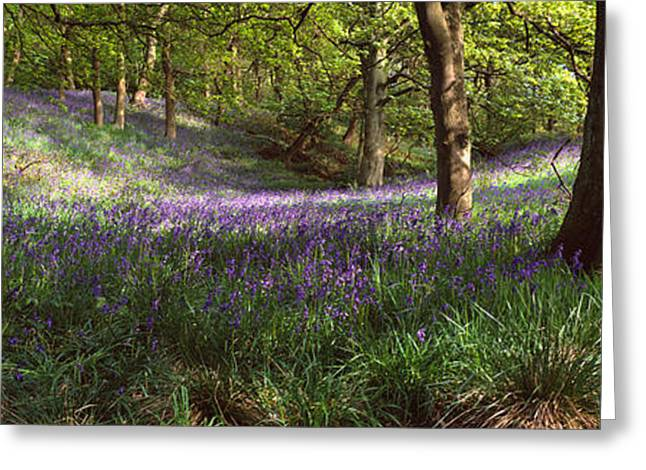 Low Section Greeting Cards - Bluebells In A Forest, Newton Wood Greeting Card by Panoramic Images