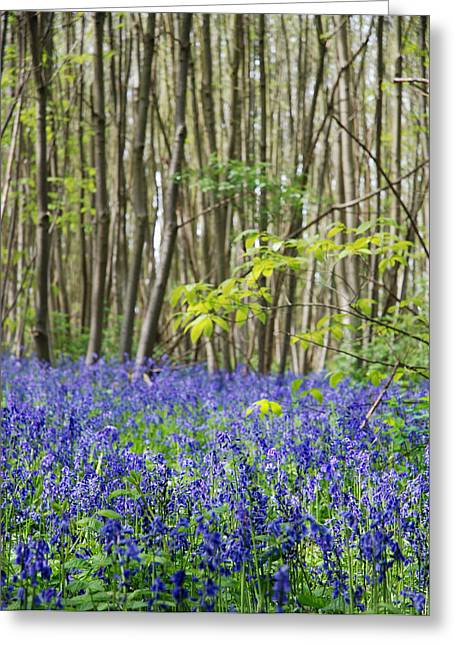 Tress Greeting Cards - Bluebells Greeting Card by Mark Rogan