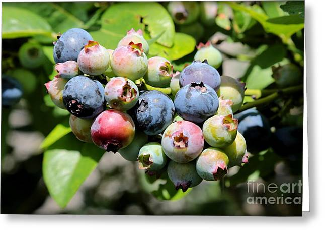 Fruit On The Vine Greeting Cards - Blueberries on the Vine Greeting Card by Carol Groenen