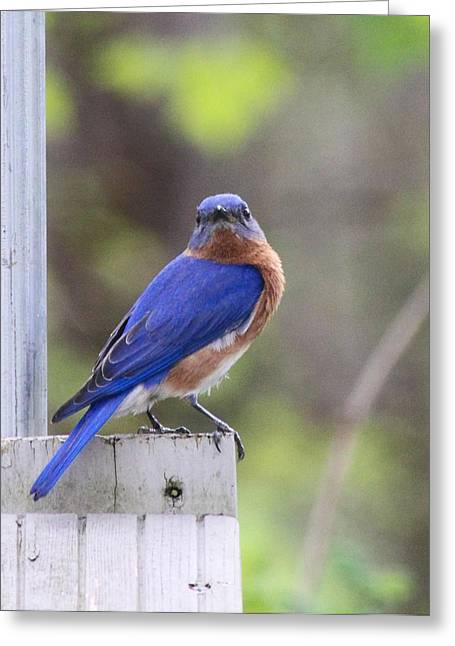Bluebird Posters Greeting Cards - Bluebird  Greeting Card by Brad Fuller