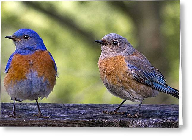 Turdidae Greeting Cards - Bluebird Couple Greeting Card by Jean Noren