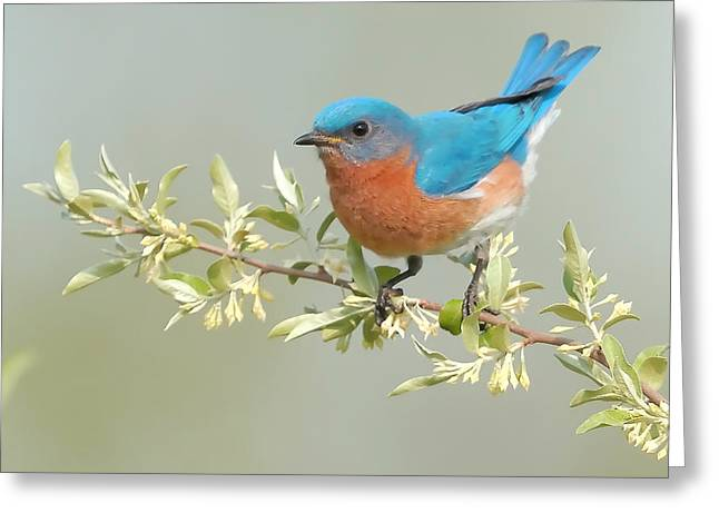 Song Birds Greeting Cards - Bluebird Floral Greeting Card by William Jobes
