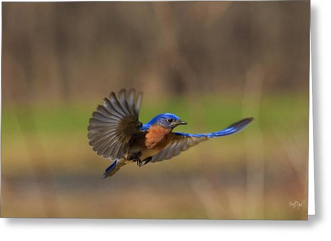 Bluebirds Greeting Cards - Bluebird in Flight Greeting Card by Everet Regal