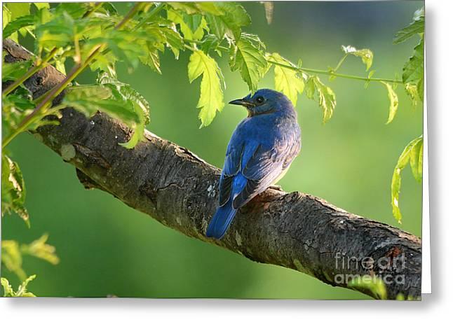 Nava Jo Thompson Greeting Cards - Bluebird in the Morning Greeting Card by Nava  Thompson