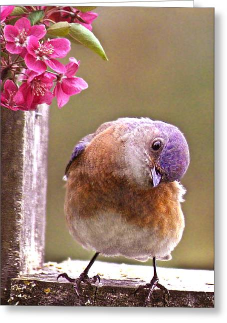 Passeriformes Greeting Cards - Bluebird Greeting Card by Jean Noren