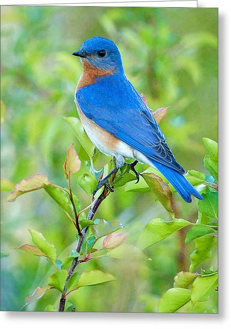 Song Birds Greeting Cards - Bluebird Joy Greeting Card by William Jobes