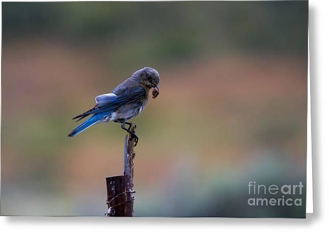 Bluebird Greeting Cards - Bluebird Lunch Greeting Card by Mike  Dawson