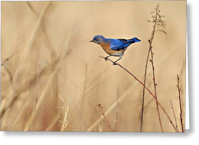 Eastern Bluebird Greeting Cards - Bluebird Meadow Greeting Card by William Jobes