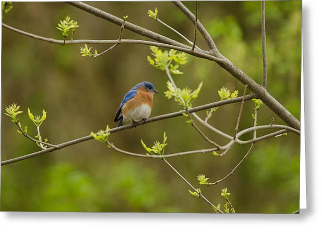 The Hills Greeting Cards - Bluebird of Happiness Greeting Card by Maria Suhr