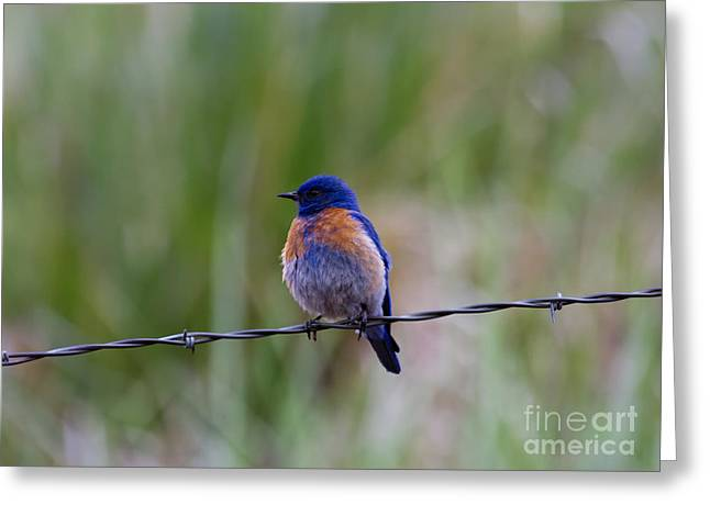 Bluebird Greeting Cards - Bluebird on a Wire Greeting Card by Mike  Dawson