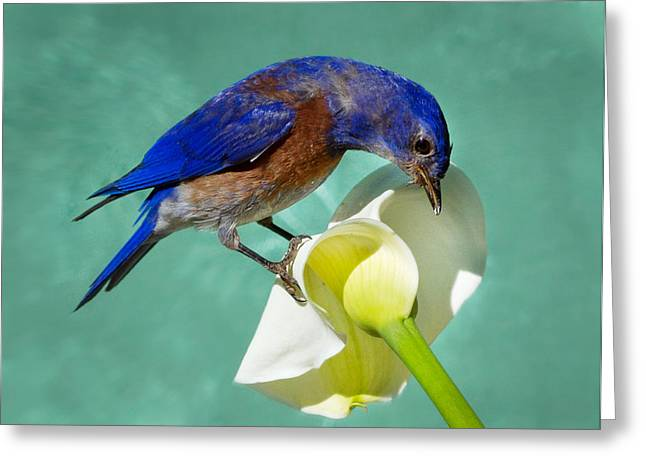 Passeriformes Greeting Cards - Bluebird on Calla lily Greeting Card by Jean Noren