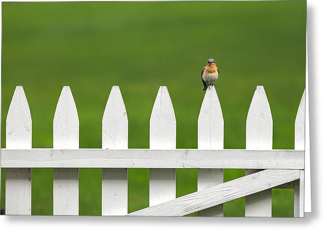 Minimalist Greeting Cards - Bluebird On The Fence Greeting Card by Bill  Wakeley