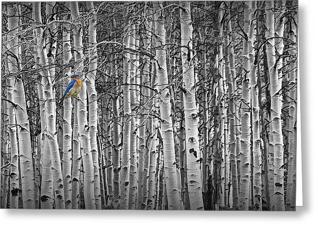 Birch Grove Greeting Cards - Bluebird perched on Black and White Birch Trees Greeting Card by Randall Nyhof
