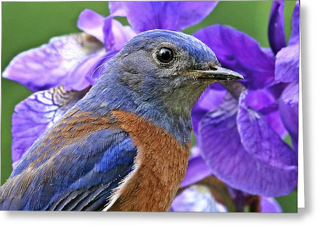 Passeriformes Greeting Cards - Bluebird portrait Greeting Card by Jean Noren