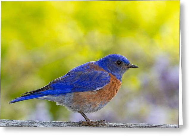 Sialia Mexicana Greeting Cards - Bluebird profile Greeting Card by Jean Noren