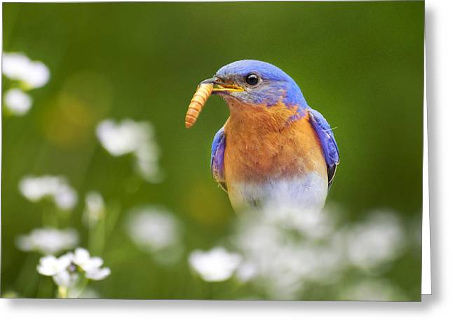 Bluebird Greeting Cards - Bluebird with Worm Square Greeting Card by Christina Rollo