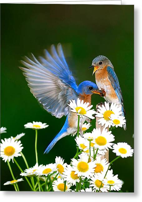 Randall Branham Greeting Cards - Bluebirds and Daisies Greeting Card by Randall Branham