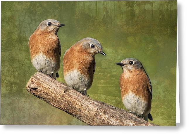 Triplets Greeting Cards - Bluebirds Times Three Greeting Card by Bonnie Barry
