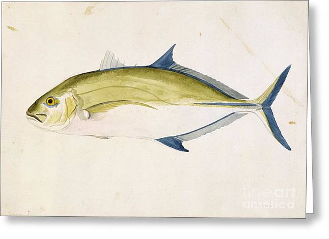 Kingfish Greeting Cards - Bluefin Trevally, 18th Century Greeting Card by Natural History Museum, London