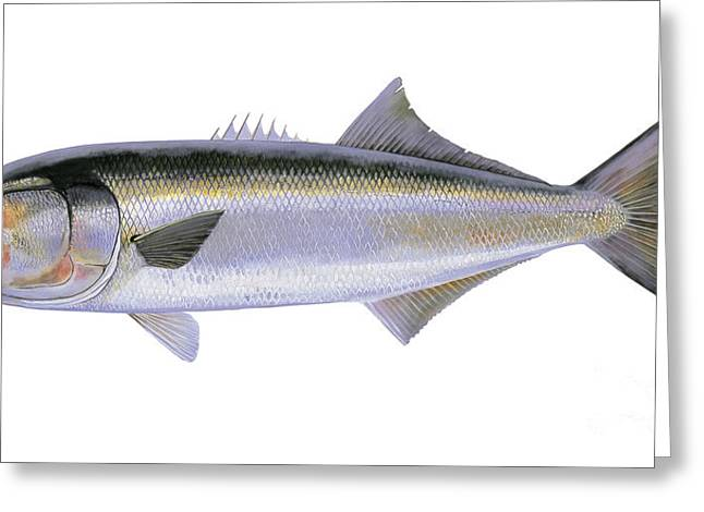 Mackerel Greeting Cards - Bluefish Greeting Card by Carey Chen