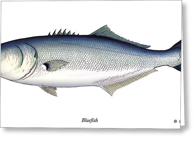 Bluefish Greeting Card by Charles Harden