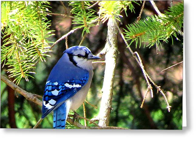Bluejay Greeting Card by Stephen Melcher