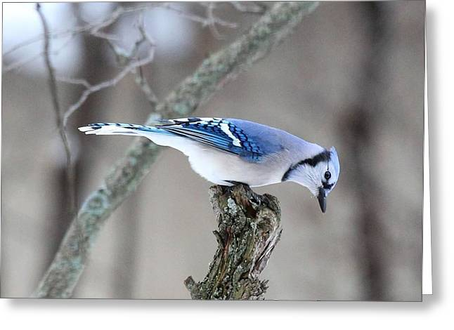 Blue Jay Images Greeting Cards - Blue Jay Taking a Break Greeting Card by Diane V Bouse