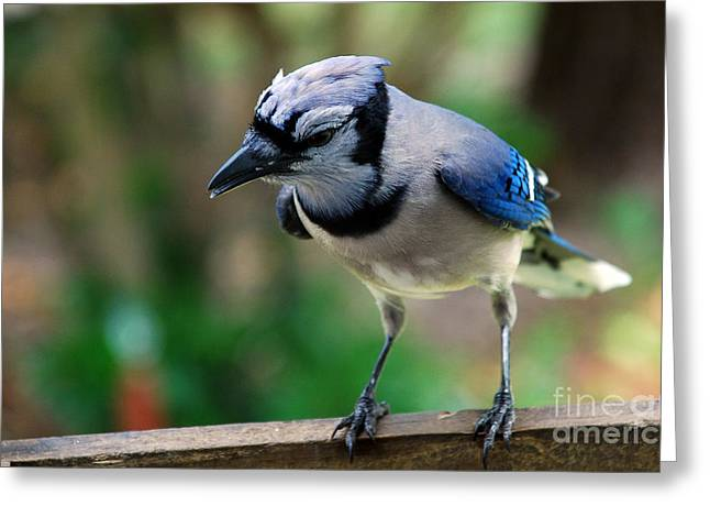 Blue Jay Images Greeting Cards - Blues Brother Greeting Card by Skip Willits